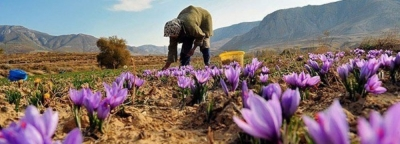 26% Rise in Iran's Saffron Export Value